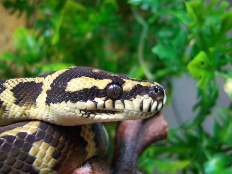 Mon male Morelia spilota Irian Jaya 01710