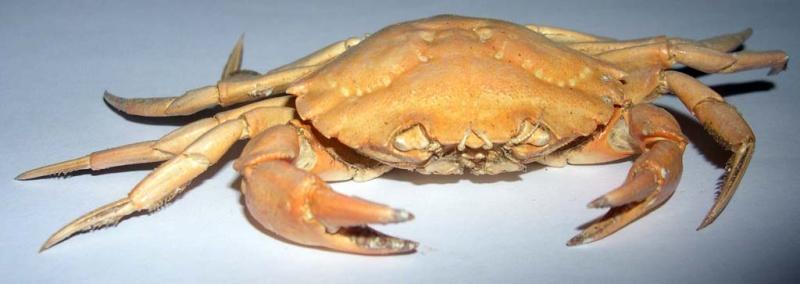 Crabe vert ?? Dscn4711