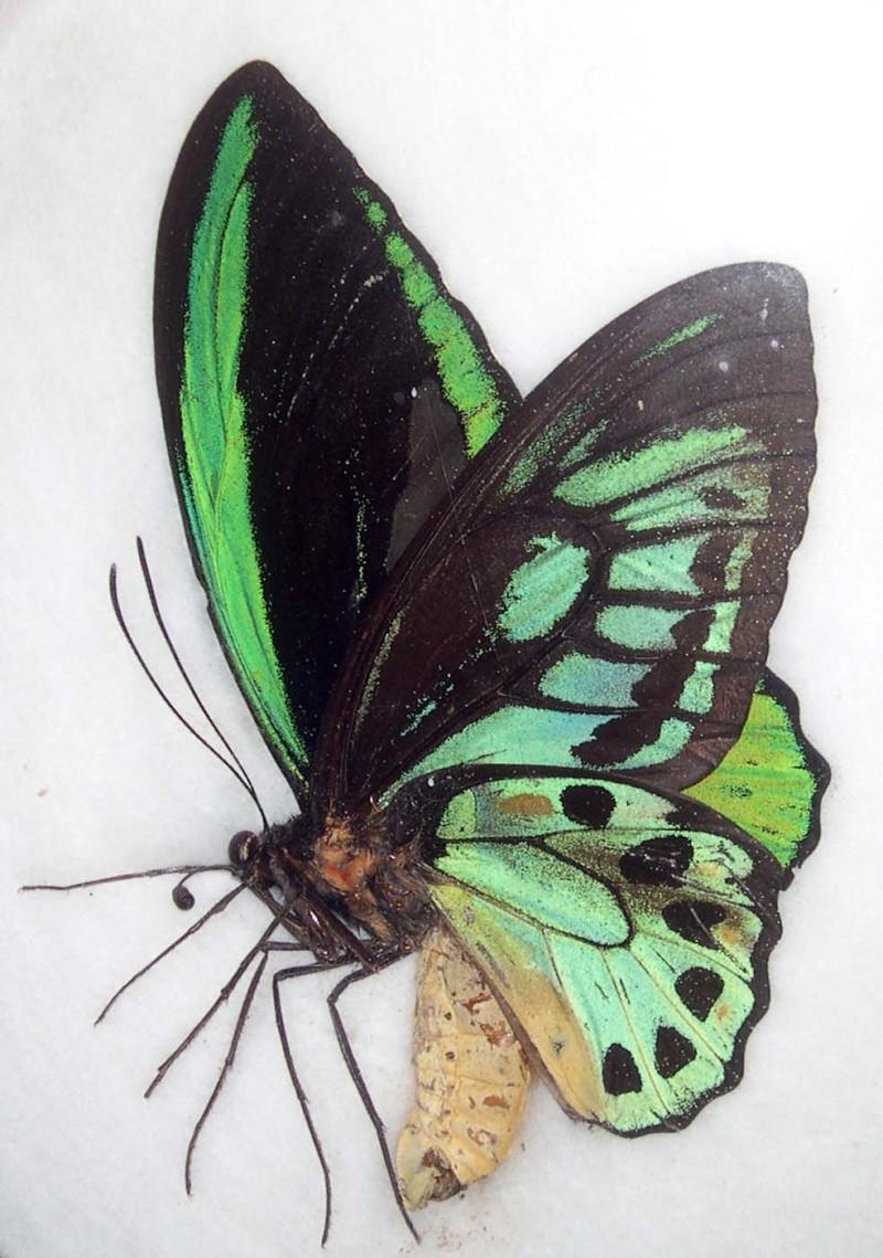 [Ornithoptera priamus] Lépidoptères géants Dscn4814