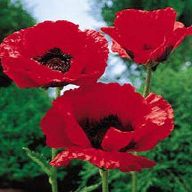 Najdraži cvijet Mak10