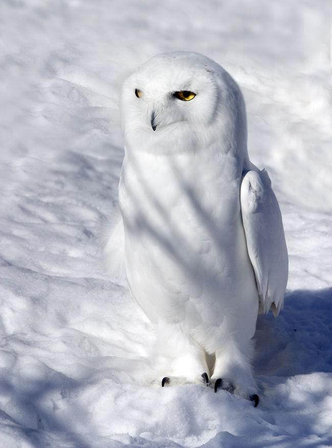 Le Harfand des neiges Harfan11