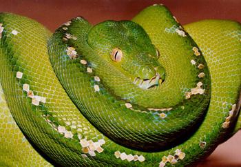 deux serpents dangereux Python10