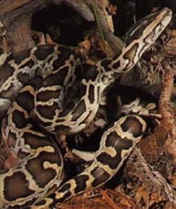 deux serpents dangereux Python11