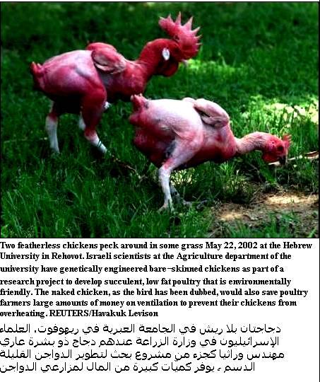 حقيقة دجاج كنتاكي وهارديز ومكدونالدز المهجن بالصور Pictur10