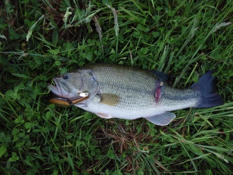 Le Black Bass Bass4610