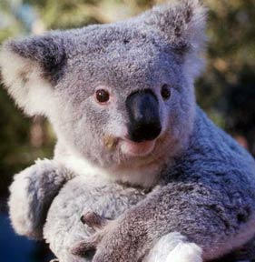 le Koala 5514