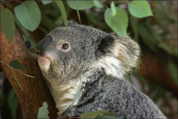 le Koala 66610