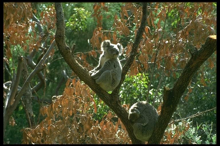 le Koala 7716