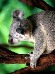 le Koala 99911