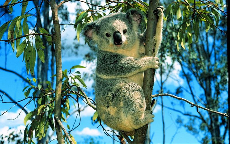 le Koala Arbre10