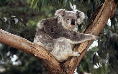 le Koala Bebe10