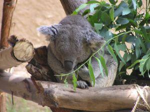 le Koala Koala-10