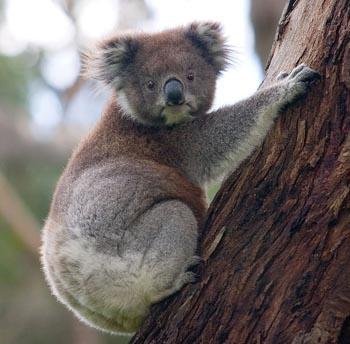 le Koala Koala_11