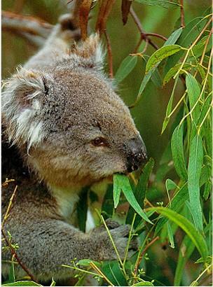 le Koala Mange10
