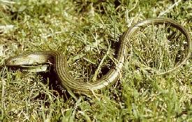 Descubrimiento de nuevos reptiles. Eslozo10