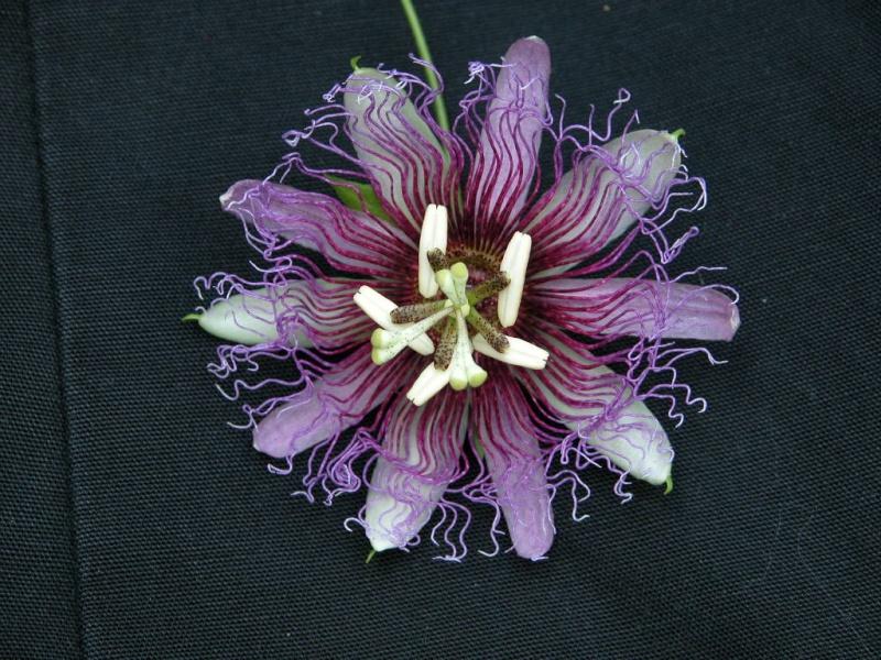 P. serratifolia Serrat10