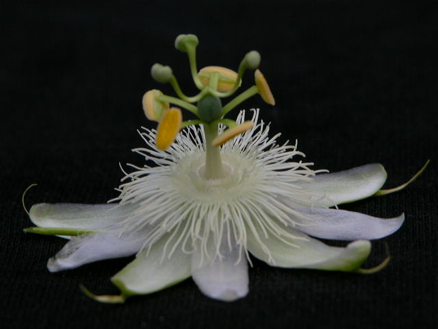 P. subpeltata Subpel10