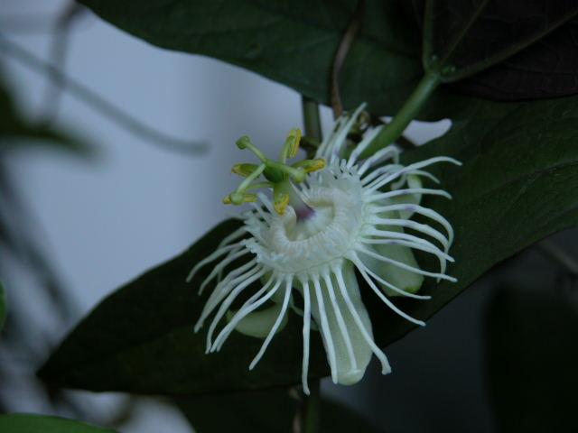 P. tricuspis Tricus10