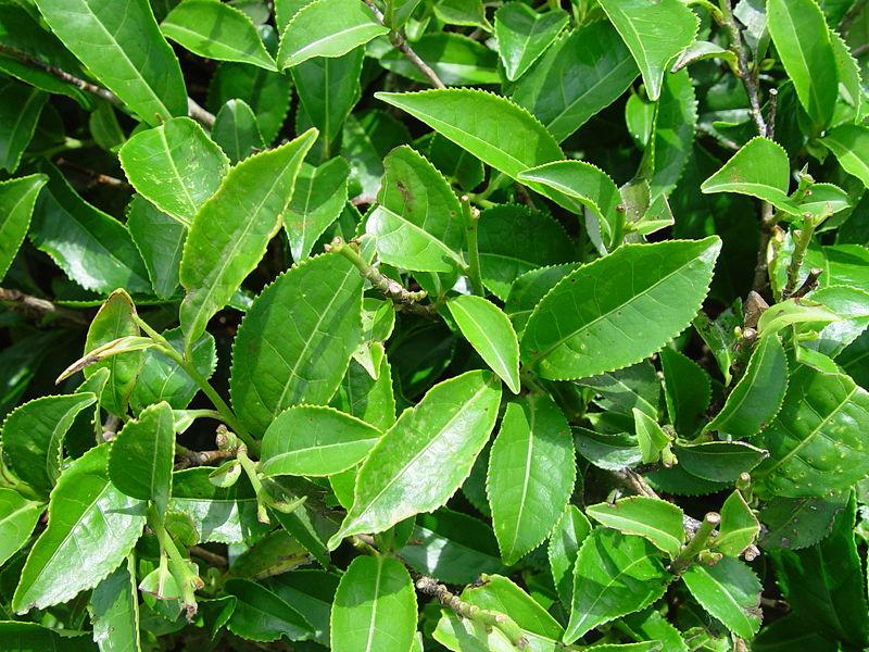 OCHA -Green Tea- 800px-10