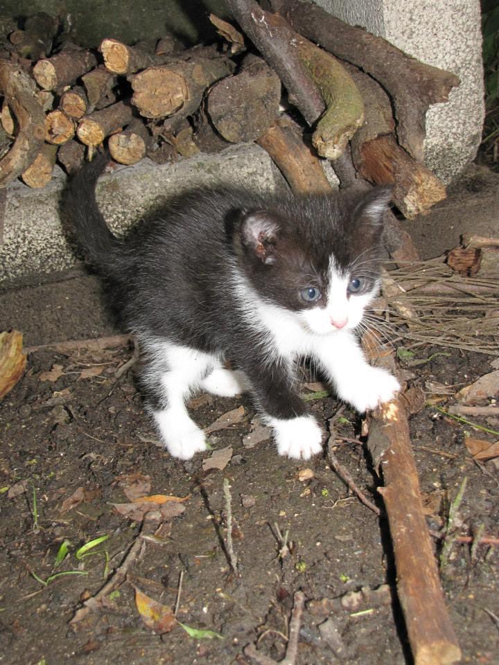 ANGELE chatonne noire et blanche née le 15/05/13 Angel_10