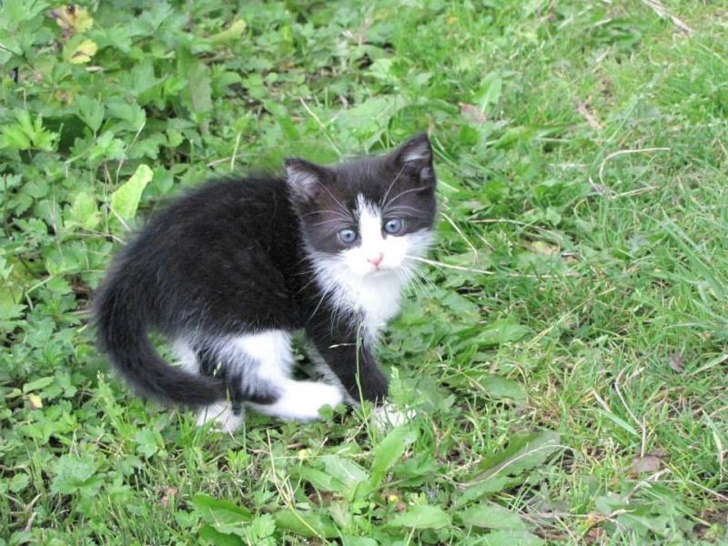 ANGELE chatonne noire et blanche née le 15/05/13 Angel_11