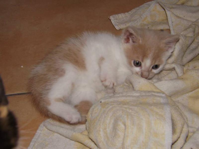 LOL chaton crème et blanc né le 15/05/2013 Lol_m_12