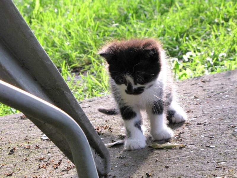 TRISKELL chatonne noire et blanche née le 15/05/13 Triske10