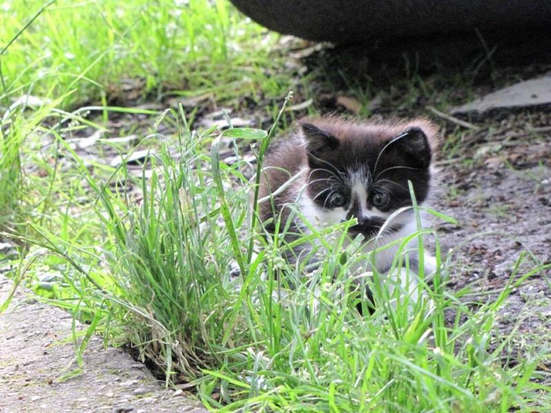 TRISKELL chatonne noire et blanche née le 15/05/13 Triske11