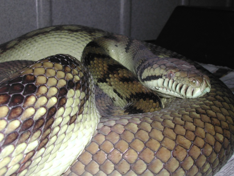 Scrub python ( Morelia amethystina) 00111