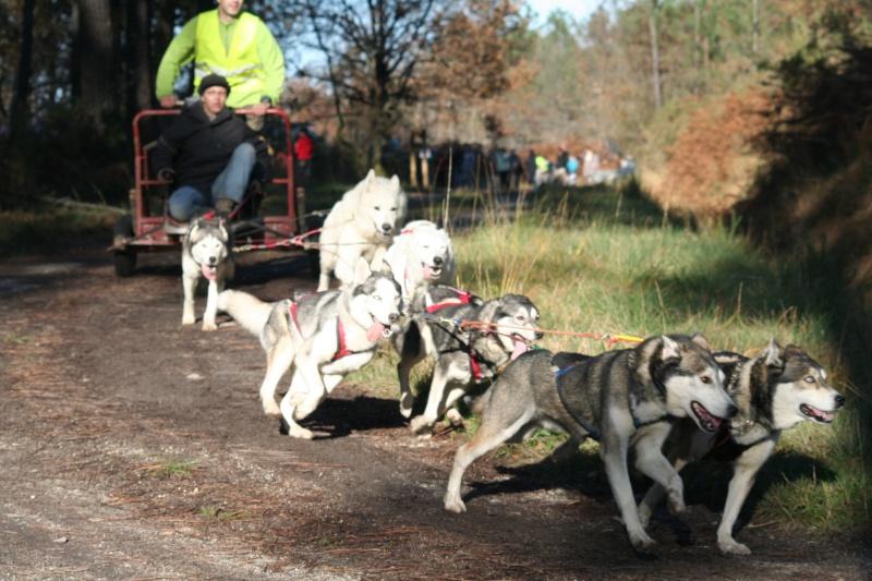 husky et berger blanc Thu-la10