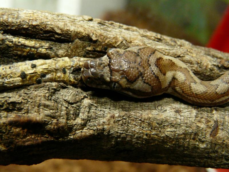 sundae ( m spilota macdowelli) - Page 4 P1040011
