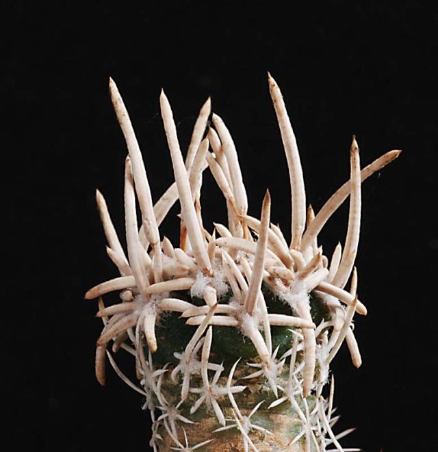 Pediocactus peeblesianus 11811