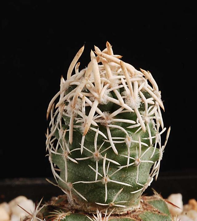 Pediocactus peeblesianus 12010