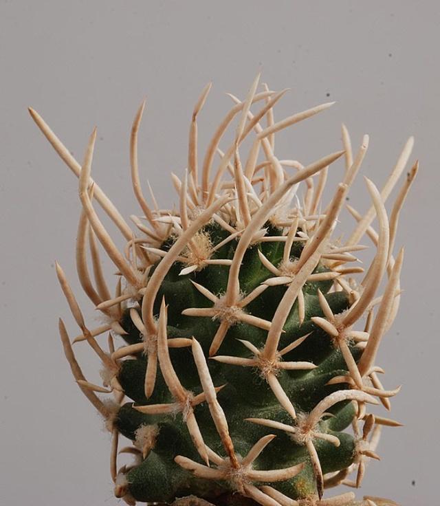 Pediocactus peeblesianus 12110