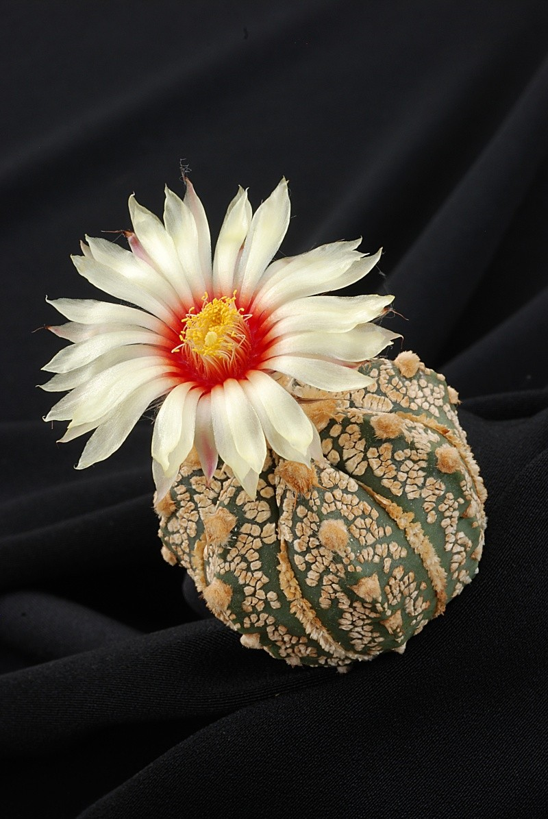 Astrophytum - une collection 1310