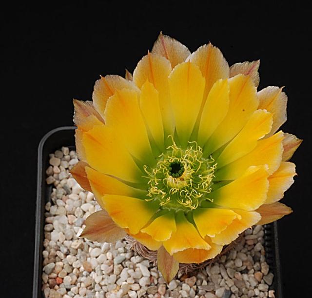 Echinocereus - une collection 3310