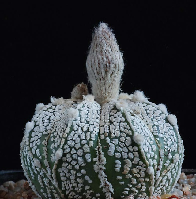 Astrophytum - une collection 3710