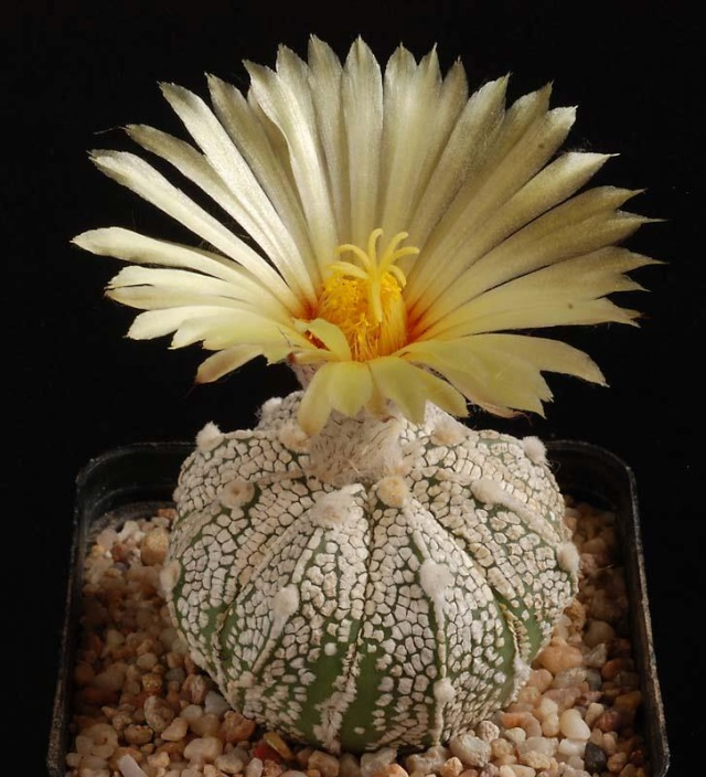 Astrophytum - une collection 3810