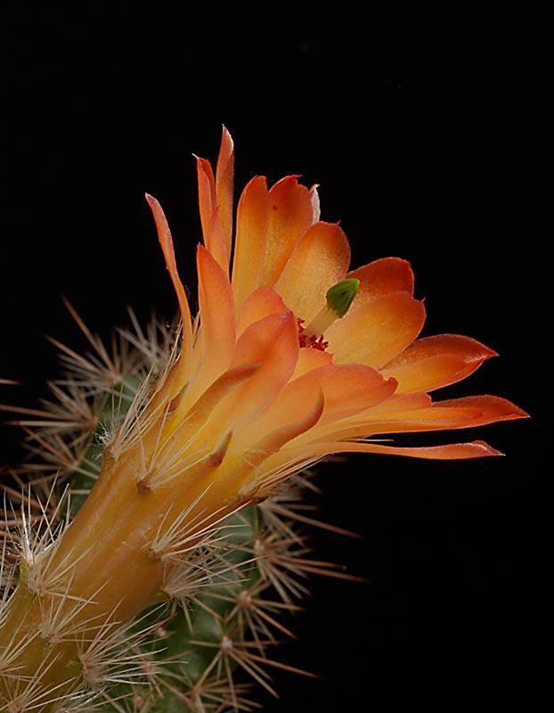 Echinocereus - une collection 4011