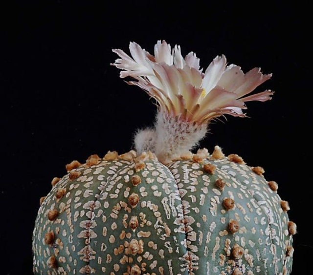 Astrophytum - une collection 4210