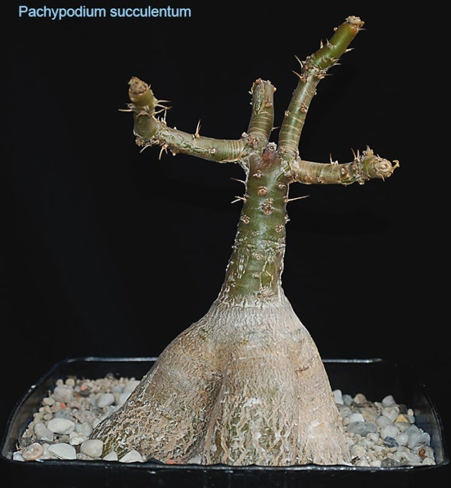 caudiciformes - collections 2 4510