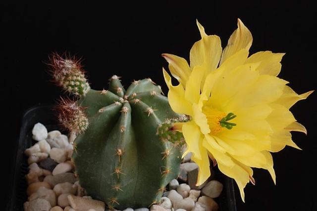 Echinocereus - une collection 4710