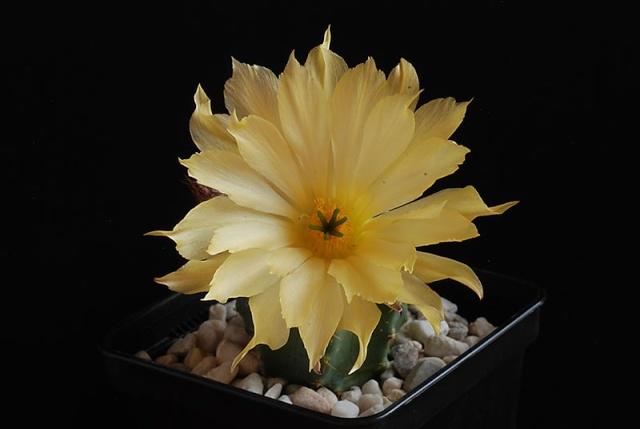 Echinocereus - une collection 4810