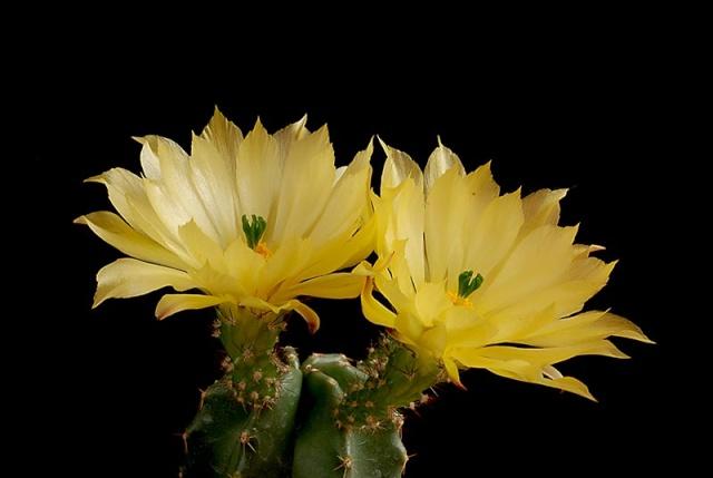 Echinocereus - une collection 4910
