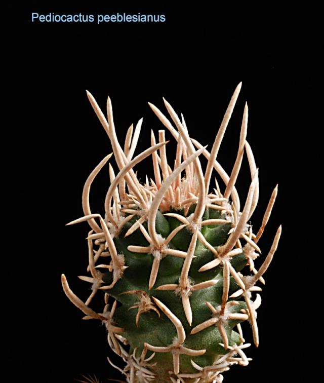 Pediocactus peeblesianus 6710