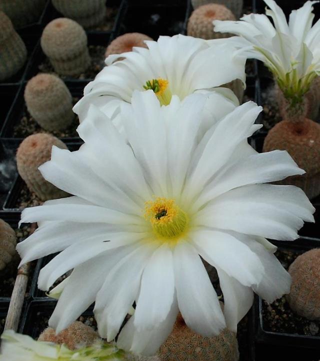 Echinocereus - une collection 7810