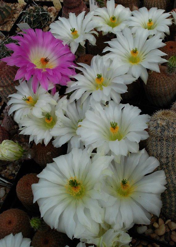 Echinocereus - une collection 7910