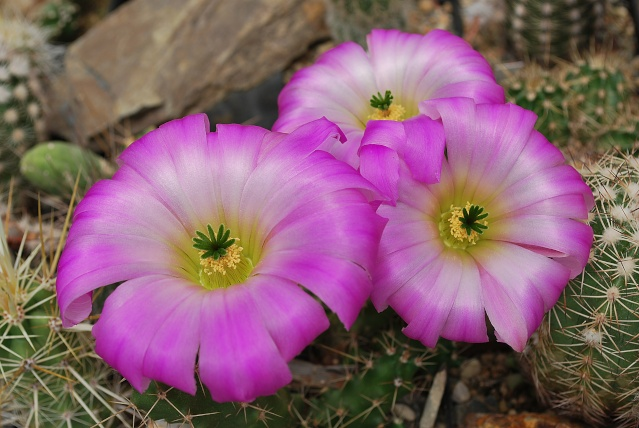 Echinocereus - une collection Echino11