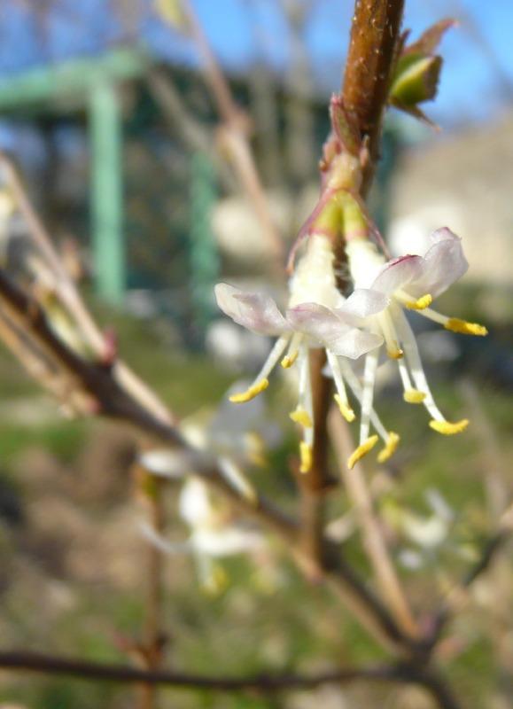 Lonicera pas fragrantissima mais pas loin Lofrag10