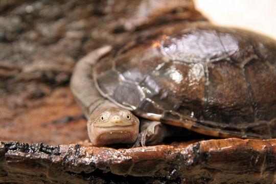 La tortue au cou de serpent 8-natu10